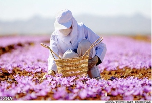 An Iranian woman harvesting Safran in the fields of Khorasan (please click the link above from more beautiful photos).